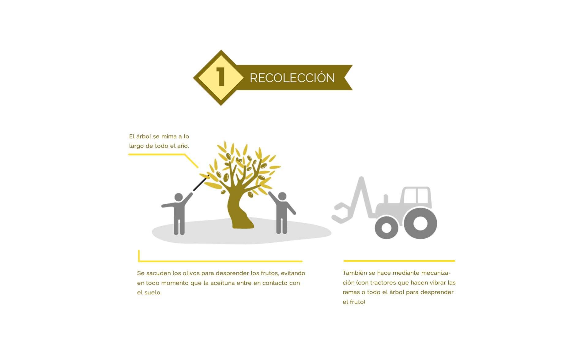 recolección del aceite de oliva