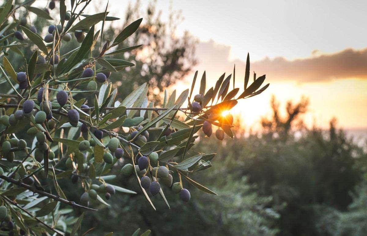Detail der spanischen Oliven