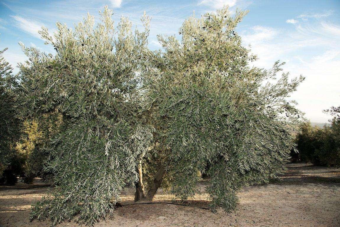 El olivar es una barrera eficaz contra el cambio climático