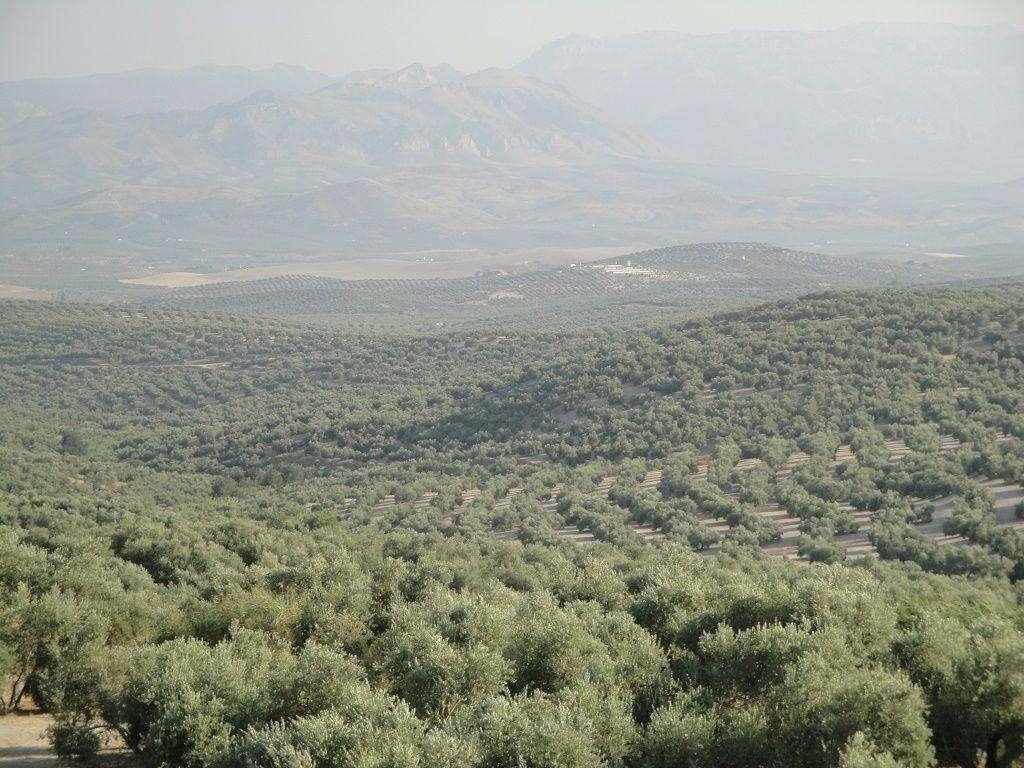 El olivar se sitúa a la cabeza del uso eficiente del agua de riego en España