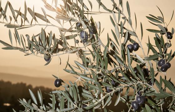 Aceites de Oliva de España rinde homenaje a las mujeres y hombres que hacen grande a este sector en el Día Mundial del Olivo