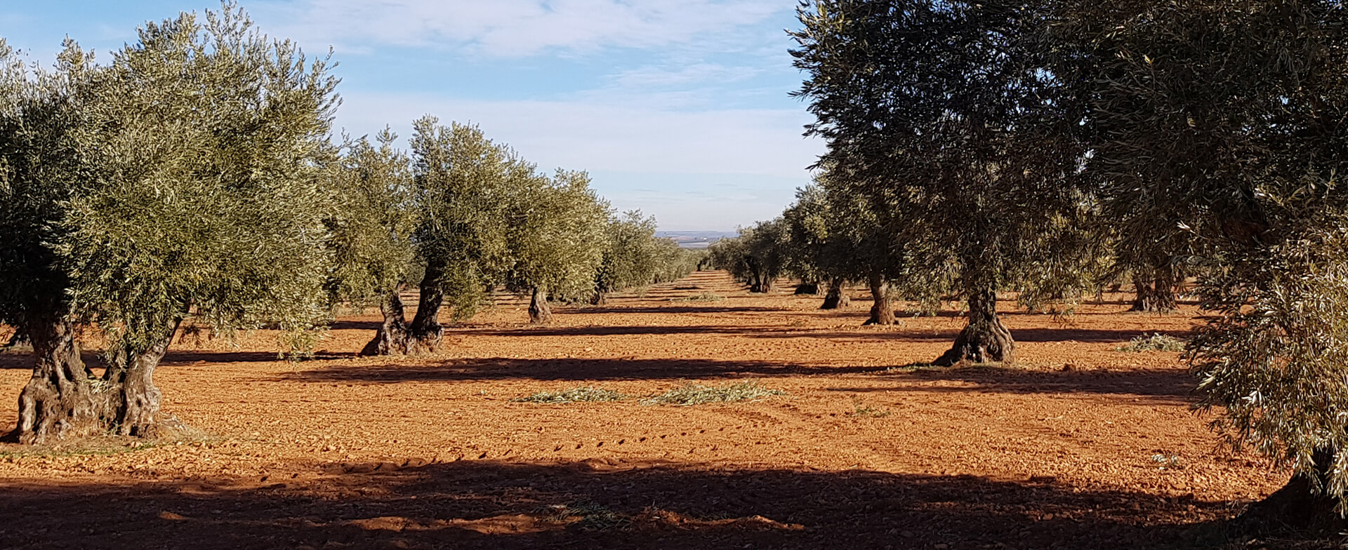 Las 10 claves del aceite de oliva