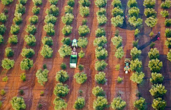 Periodistas norteamericanos admiran el olivar malagueño desde el cielo