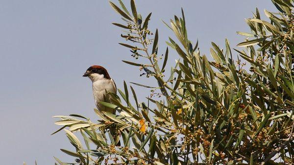 Los pájaros se posan en las ramas de los olivos